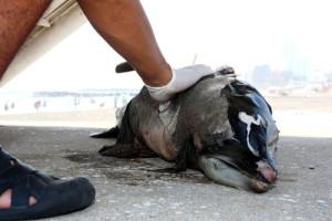 delfin-muerto